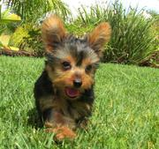 Yorkshire Terrier Puppies available text(914) 228-5599