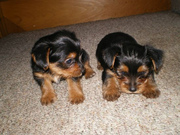 AKC Teacup Size Yorkshire Terrier Babies Needs A Family