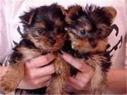 10 weeks old yorkie puppies