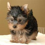 Adorable Yorkies Puppies For Adoption