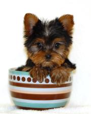 Tea Cup Yorkie Puppies For Free Adoption